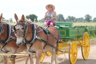 Deb Palizzi with her two mule team cart.  July, 2013.